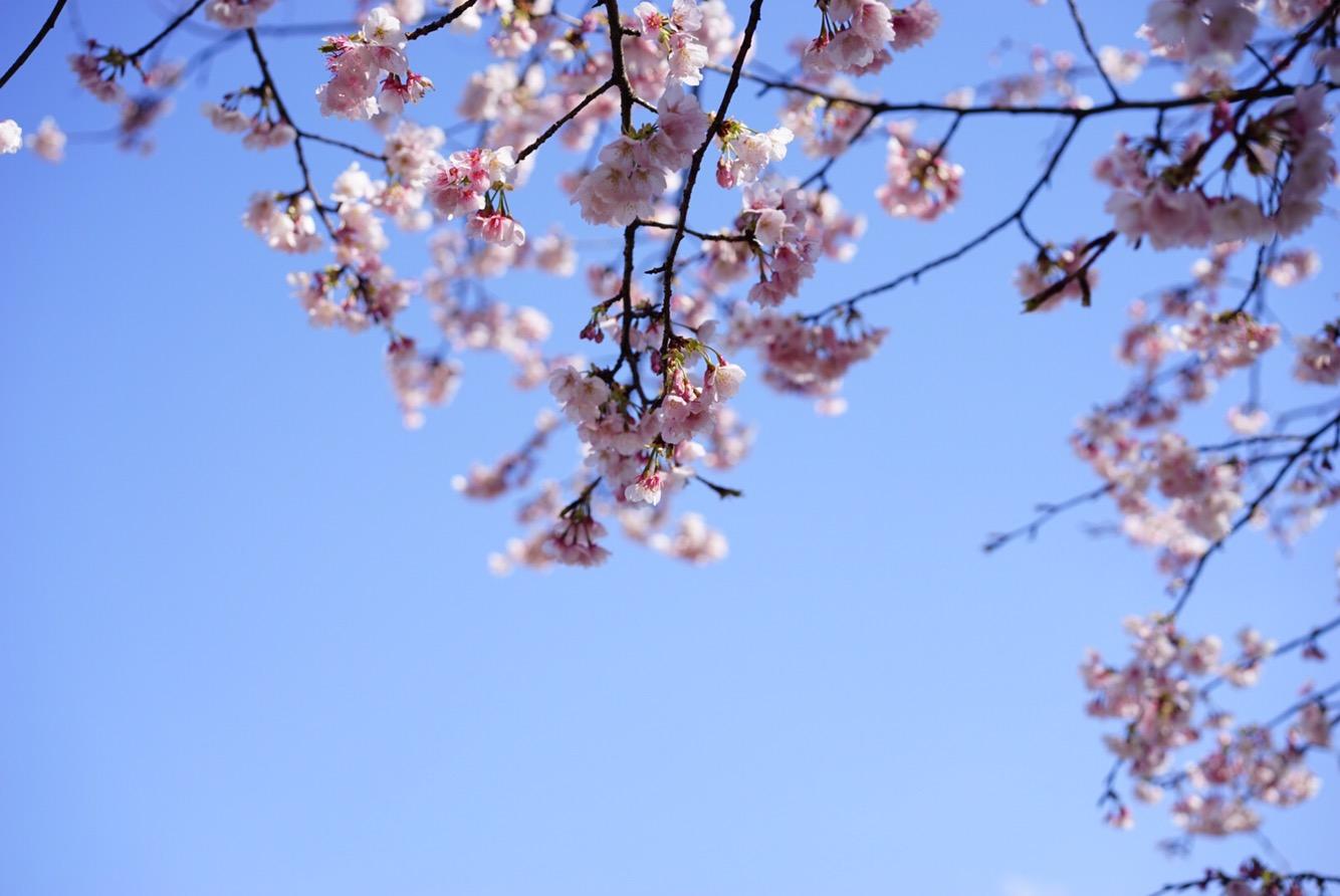 日本的樱花